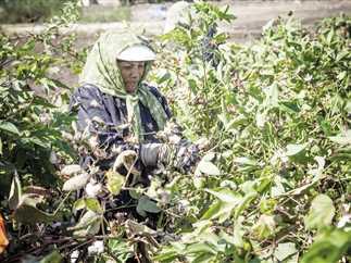 Cotton exports decline by 36.7%: CAPMAS