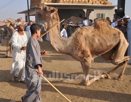 Camel beating