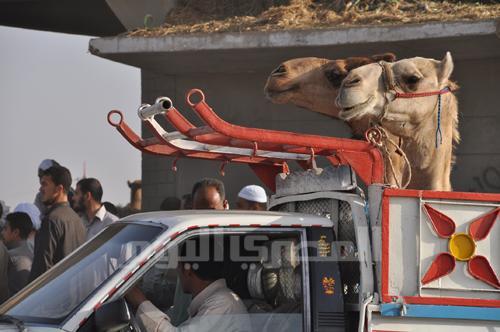 Camel in a truck